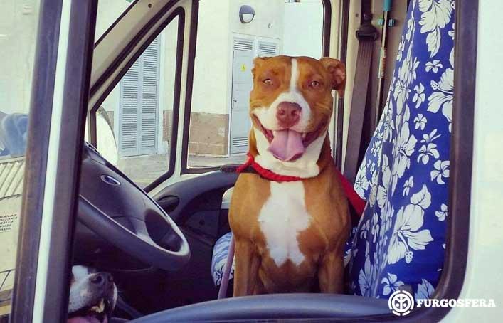 Perro en furgoneta camper