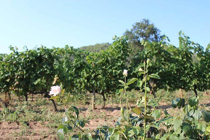 rosales en las viñas