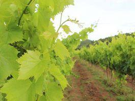 ruta del vino do emporda